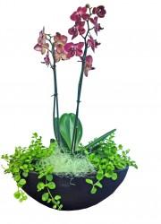 Phalaenopsis arrangemang