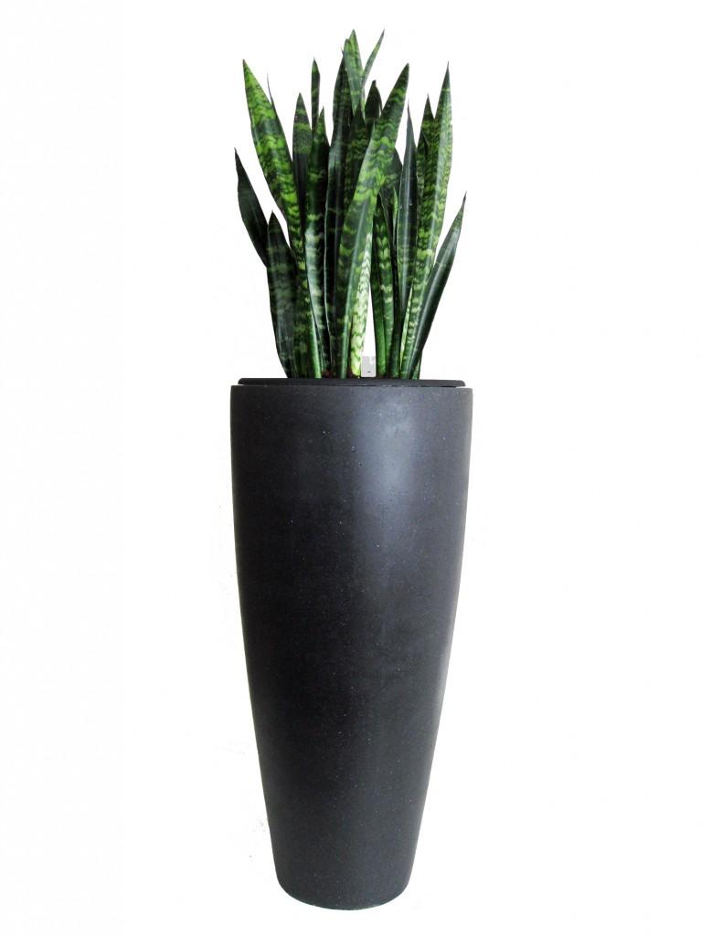 Sanseveria black coral