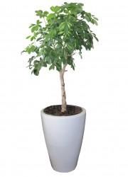 Schefflera arboricola stam